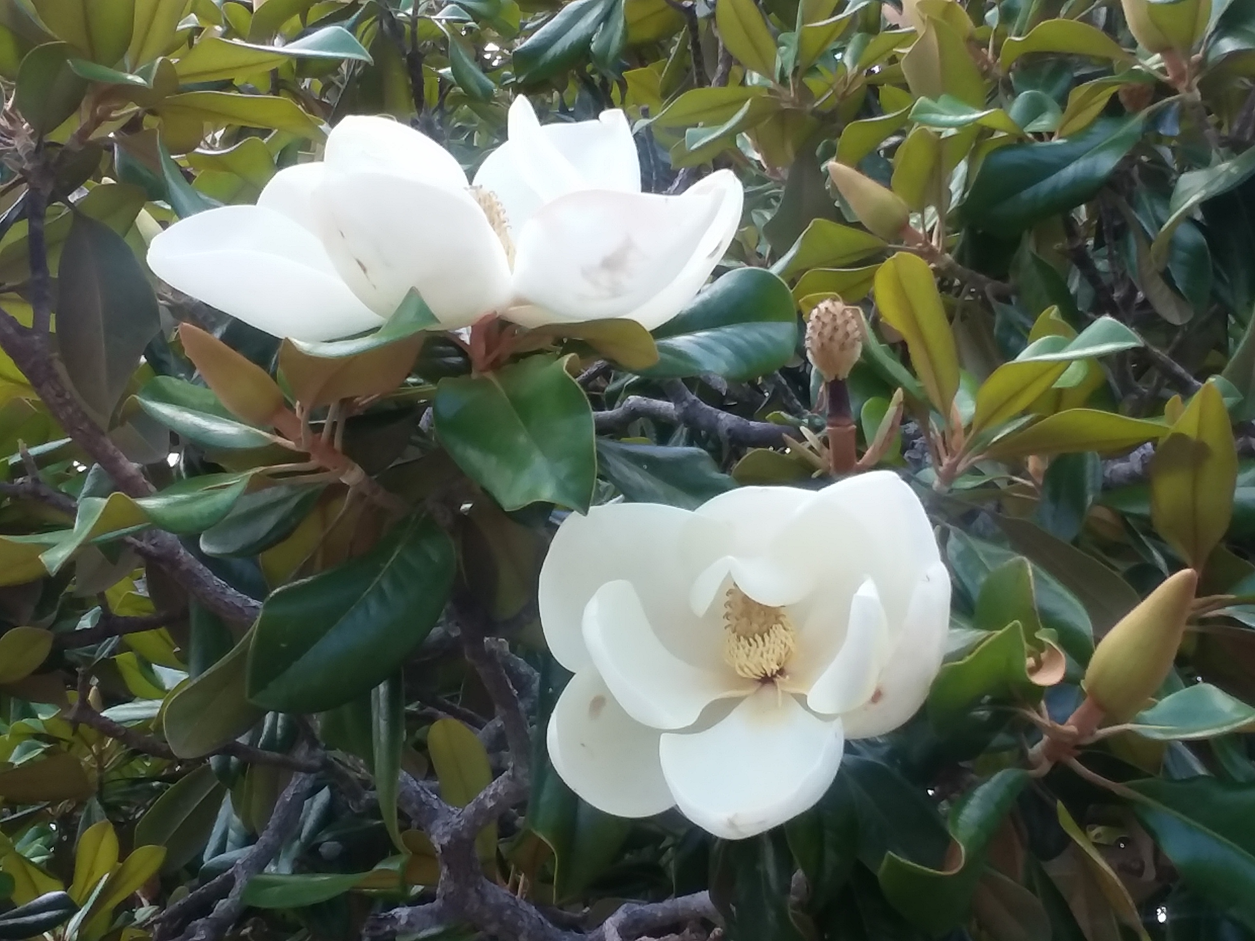 Two magnolias